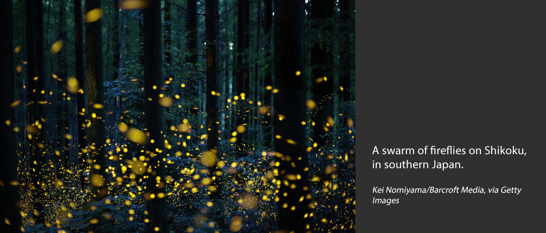 A swarm of fireflies on Shikoku, in southern Japan.Credit...Kei Nomiyama/Barcroft Media, via Getty Images